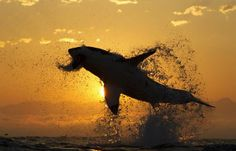 Sunrise and a ton of Great White Shark! Crazy picture, crazy shark!! Jordan: http://energie-expert.fr/plombier/plombier-paris.html