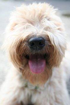 Soft Coated Wheaten Terrier. So in love with this breed!