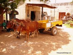 Brown cows and a yellow cart at some place in Mumbwa.