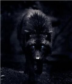 This is not a werewolf drawing, this a photograph by an incredible photographer named Carl Cook. This wolf is a female named Destiny. I had found the wolf series many years ago. Unfortunately, his site seems to be gone.