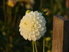 Ferncliff Snowdrop is the name of this dahlia. Its bloom form is Miniature. www.tallgrass-farms.com