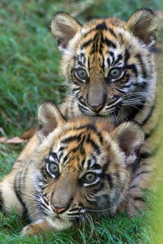 Sohni and Sanjiv - Sumatran Tiger Cubs - Zoo Atlanta. Check out these cuties this summer! Zoo Animals, Cute Baby Animals, Animals And Pets, Funny Animals, Wild Animals, Baby Tigers, Cute Tigers, Tiger Cubs, Tiger Tiger