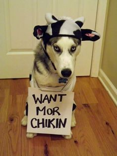 Bullit's Halloween Costume Contest, in which he won by the way! Isn't he just adorable all dressed up as a cow!