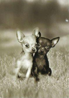 Chihuahua Buddies!