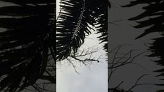 Tucanos: Árvore Seca. Tiguera 360, Juiz de Fora, MG, Brasil. IMG_8900. 1...
