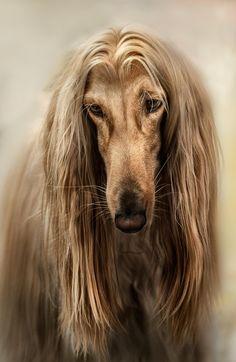 Afgano Dog Photo