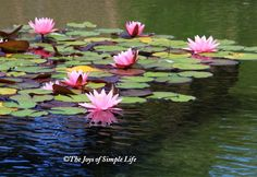 lilies on pond | Pink Lilies @ Lily Pond Watercolor Quilt, Watercolor Landscape, Abstract Landscape, Landscape Paintings, Lily Painting, Fruit Painting, Lotus Art, Cool Art Projects, Lily Pond