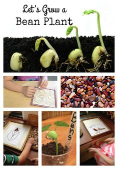 Welcome spring with your preschool, kindergarten, or first grade kids by planting bean seeds and watching them grow as the season unfolds. Use the bean seed journal to learn about the parts of a plant, life cycle, what beans need to grow and to make predi First Grade Activities, Spring Activities, Montessori Activities, Kindergarten Activities, Seeds Preschool, Preschool Art, Cycle For Kids, Kinds Of Beans, Planting For Kids