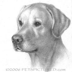 how to draw a labrador puppy step by step | Yellow Labrador Retriever Portrait - Original pencil drawing - Prints ...
