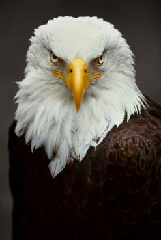 If we compare Golden eagle vs bald eagle then we got so many differences and similarities. Go further to know Bald eagle vs Golden eagle fight comparison- who will win the fight. The Eagles, Bald Eagles, Eagle Images, Eagle Pictures, Beautiful Birds, Animals Beautiful, Aigle Animal, Bald Eagle Tattoos, Eagle Wallpaper
