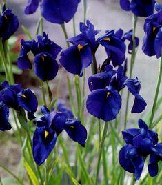 Iris kaempferi (3 plug plants) Japanese Blue Water Iris ensata - Hardy Damp / Bog / Water garden / pond / aquatic Marginal Cut flower by RootGarden on Etsy