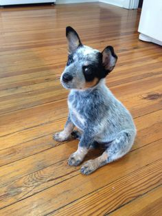 "Australian Cattle Dog (Blue Heeler) puppy, ""Gidget."" Such a rascal. Not good puppies to have if you have small children. ACD puppies are very bitey and have extremely sharp teeth."