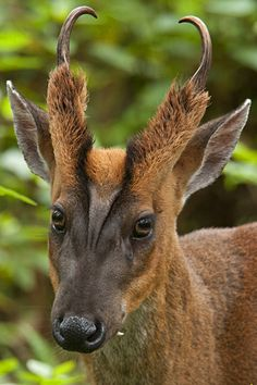 Barking Deer portrait in India. - by Thomas