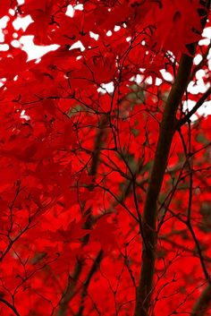 Red Leaf Tree, by Penny Haviland