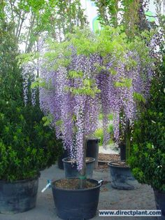 60 pcs japanese wisteria seed perennial flowers bonsai tree seeds Indoor ornamental plants true seed for garden decoration - Modern Garden Planning, Tuscan Garden, Wisteria Plant, Garden Pots, Japanese Garden, Plants, Planting Flowers, Garden Trees, Backyard Landscaping