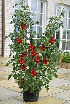 Growing vegetables in container Tomates en pot Magic Garden, Fruit Garden, Edible Garden, Vegetable Garden, Container Plants, Container Gardening, Gardening Tips, Balcony Gardening, Patio Tomatoes