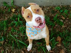CREME - A1083305 - - Manhattan  Please Share:   TO BE DESTROYED 08/11/16  ***A GENEROUS DONOR HAS PLEDGED $125. TO NEW HOPE RESCUE THAT PULLS THIS DOG TONIGHT***A volunteer writes: Kid-friendly, dog-friendly, gentle, playful, well trained and easy-going–this beautiful boy truly is the creme de la creme of dogs! Whether sitting up front wagging a happy tail for passing adopters or play-bowing in group to solicit the other pups, sweet Creme is the life of any party and