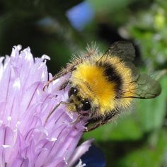 Early Bumblebee (Bombus pratorum) on Chive flower Bee Pictures, Bee Pics, Shade Perennials, Shade Plants, Shade Grass, I Love Bees, Worm Composting, Bumble Bees, Bee Pollen