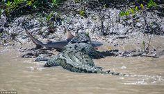 Crocodile eating a bull shark