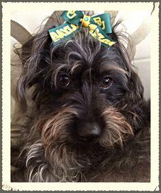 Baylor dog!!:)