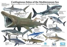 In June 2008 a scientific study funded in part by the Lenfest Ocean Program concluded that all shark species assessed in the Mediterranean Sea declined by more than 97 percent in abundance and R… Different Types Of Sharks, All Sharks, Basking Shark, Sea Shark, Shark Facts, Species Of Sharks, Marine Ecosystem, Poster Print, Kunst Poster