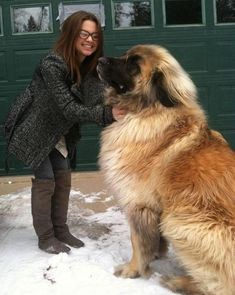 This is Simba, a Leonberger. This type of dog can weigh up to 170 lbs. Beautiful, gentle animal.