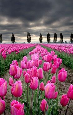 """People deal too much with the negative, with what is wrong. Why not try and see positive things, to just touch those things and make them bloom?""   ~ Thich Nhat Hanh  Fields of tulips. Skagit Valley, Washington.  ♥ lis"