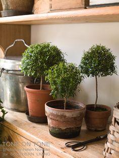 Myrtle Topiaries (Myrtus communis 'Compacta')