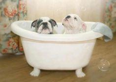 Rub A Dub Dub, Two Bulldogs In A Tub