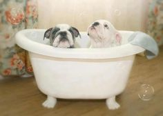 Rub A Dub Dub, Two Bulldogs In A Tub