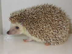 Relatively new to the pet industry is the African hedgehog. Hedgehogs can make interesting, somewhat challenging, yet fun and enjoyable pets. They are mammals whose entire back is blanketed with spines like a porcupine. Hedgehog Care, Hedgehog House, African Hedgehog, Best Swimmer, Pocket Pet, Unique Animals, Exotic Animals, Vet Clinics, Young Animal