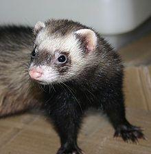 Il furetto è un simpatico animale domestico ritenuto erroneamente selvatico. Si tratta di un piccolo mammifero molto socievole e giocherellone, un vero compagno di giochi, allegro e divertente il