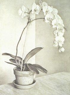 Claudio Bravo,  Orchid, 1994  Lithograph      31 x 23 inches