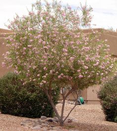 Desert Willow Tree - Horticulture Unlimited