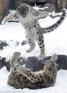 Everest, a six-month-old snow leopard cub, pounces on his mother Sarani on his first public outing at Brookfield Zoo in Chicago. Cute Funny Animals, Cute Baby Animals, Animals And Pets, Wild Animals, Animals In Snow, Crazy Animals, Big Cats, Cool Cats, Cats And Kittens