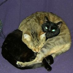 """Cat Pretzel (=^.^=) Thanks, Pinterest Pinners, for stopping by, viewing, re-pinning, & following my boards.  Have a beautiful day! ^..^ and """"Feel free to share on Pinterest ^..^   #catsandme #cats"""