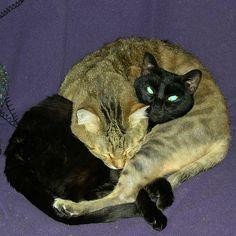Cat Pretzel