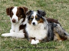 Cuties :) Shepherd Puppy