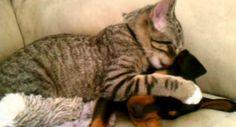 Adorável Gato Cuida De Cão Doente Depois De Vir Do Veterinário