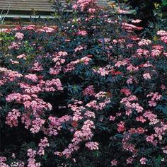 Elderberry Black Beauty - Deer Resistant attracts butterflies (citrus-scented blossoms)' birds (berries) 8-10' tall & wide // sh ss13 $20 4-in pot (86581)