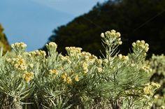 Edelweiss flower by Yandauga on @creativemarket