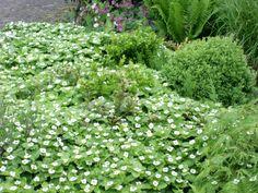Cornus canadensis (Kornoelje),   worteluitlopers, bijna volledig wintergroen, frisse groen van kleur, leuke bolletjes na bloei, mooie bodembedekker in halfschaduw