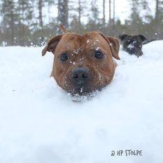 """HP Stolpe Staffy @winnie_the_staffy Instagram Rex Emmerdale's Gregory Peck """"Rex"""" #sweden #nannydog #laughingdog #staffylove #staffy #sbt #snow #StaffordshireBullterrier"""
