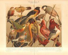 1897 Finches, Astrilds, Weavers, Helena Astrild, Zebra Finch, Bronze Mannikin, Java Sparrow, Sunbird, Virginia Cardinal Antique Lithograph