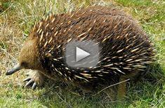 El equidna, el otro mamífero que pone huevos – Vídeo