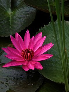 ~~Pink Water Lily by arifaqmal~~ Water Flowers, Water Plants, Flowers Nature, Exotic Flowers, Water Lilies, Tropical Flowers, Amazing Flowers, Beautiful Roses, Beautiful Flowers