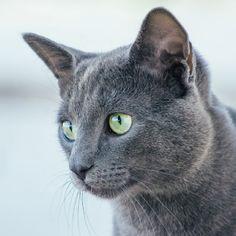 Russian White Cat, Russian Blue Kitten, Grey Cat Breeds, Large Cat Breeds, Grey Cats, Blue Cats, Russian Cat Breeds, Cat Breeds With Pictures, Hairless Kitten