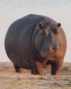 Who wants to see a hippos in the wild? You can experience it on an African safari!