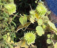 Abutilon indicum.  Order:Malvales Family:Malvaceae Genus:Abutilon Species:A. indicum