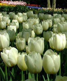 61 best pure white images on pinterest bulb flowers white flowers triumph tulip pays bas is an alluring meringue white beauty with ever so pale lemon blushes that fade as the flowers mature pays bas payee baah means the mightylinksfo